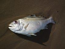 泰国海†‹â€ ‹鱼靠岸死 免版税库存照片