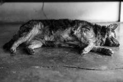 泰国混杂的品种狗 免版税库存图片