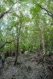 泰国湾海岸的美洲红树森林 免版税库存照片