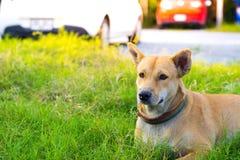 泰国狗有被弄脏的路背景在有动物友好的大气的房子里 使用墙纸或动物图象 免版税库存照片
