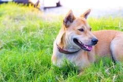 泰国狗有被弄脏的路背景在有动物友好的大气的房子里 使用墙纸或动物图象 库存照片