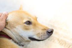 泰国狗有被弄脏的路背景在有动物友好的大气的房子里 使用墙纸或动物图象 免版税图库摄影