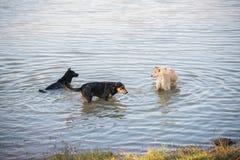 泰国狗游泳在河 库存图片