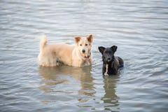 泰国狗游泳在河 库存照片