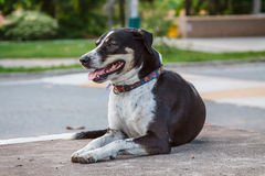 黑泰国狗,微笑狗 库存照片