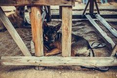 泰国狗 库存图片