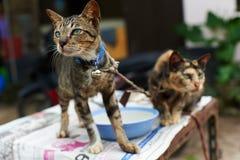 泰国猫。 免版税库存照片