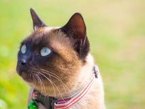 泰国猫命名了Moon Diamond或深褐色,也称Wichianma 免版税库存图片
