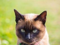 泰国猫命名了Moon Diamond或深褐色,也称Wichianma 库存图片