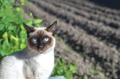 泰国猫坐庭院的背景 库存图片