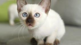 泰国猫老型的暹罗猫 影视素材