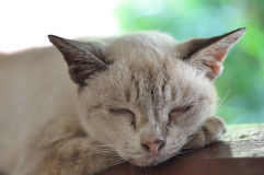 泰国猫褐色它睡觉,美梦 免版税库存图片