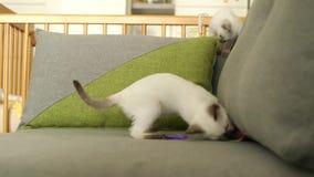 泰国猫(老型的暹罗猫)戏剧 影视素材