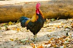 泰国男性鸡 库存图片