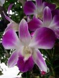 泰国的兰花 库存图片