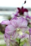 泰国的增长并且出口海外的兰花种类 免版税库存照片