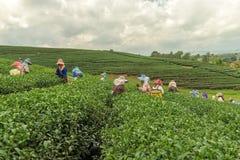 从泰国的妇女打破在茶园的茶叶 图库摄影