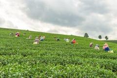 从泰国的妇女打破在茶园的茶叶 免版税库存照片