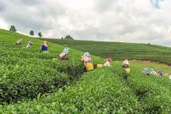 从泰国的妇女打破在茶园的茶叶 库存照片