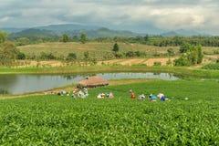 从泰国的妇女打破在茶园的茶叶 免版税库存图片