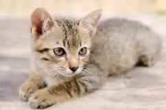 泰国的小猫 库存照片