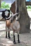 泰国的山羊 免版税库存照片
