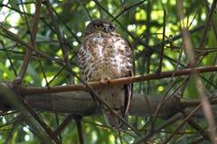泰国的布朗鹰猫头鹰布朗BooBook Ninox scutulata美丽的鸟 库存图片