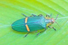 从泰国的昆虫 免版税库存图片