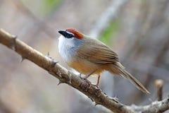 泰国的栗子加盖的说话模糊不清的人Timalia pileata美丽的鸟 库存图片