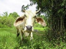 泰国的母牛 免版税库存图片