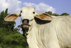 泰国的母牛 免版税图库摄影