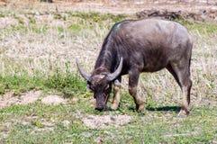 泰国的水牛 免版税图库摄影