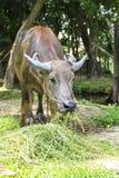泰国的水牛 免版税库存照片