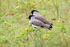 泰国的河田凫欧亚田凫类duvaucelii美丽的鸟 库存图片
