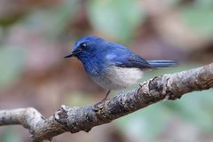 泰国的海南蓝色捕蝇器Cyornis hainanus公逗人喜爱的鸟 免版税库存图片