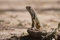 从泰国的爬行动物 免版税库存图片