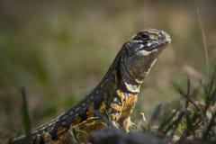 从泰国的爬行动物 免版税库存照片