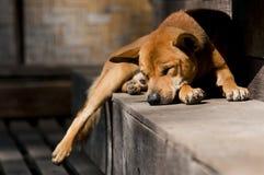 泰国的狗 库存照片