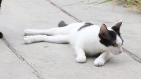 泰国的猫 股票视频