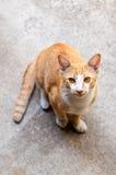 泰国的猫 图库摄影