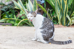 泰国的猫 库存照片