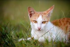 泰国的猫 库存图片