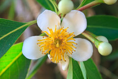 从泰国的花 库存图片