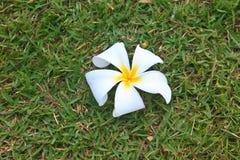 从泰国的花 库存照片