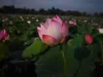 泰国的莲花 图库摄影