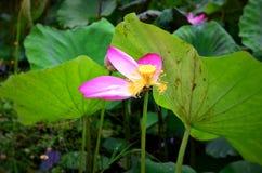 泰国的莲花 库存照片