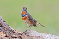 泰国的蓝点颏Luscinia svecica美丽的公鸟 库存照片