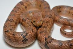 泰国的蛇 免版税库存图片