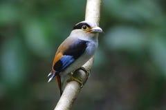 泰国的银breasted Broadbill Serilophus lunatus公逗人喜爱的鸟 免版税库存照片