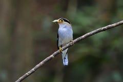 泰国的银breasted Broadbill Serilophus lunatus逗人喜爱的公鸟 免版税库存图片